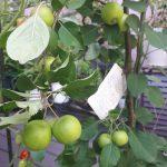 リンゴ(アルプス乙女)